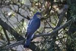 sparrowhawk (Accipiter nisus)
